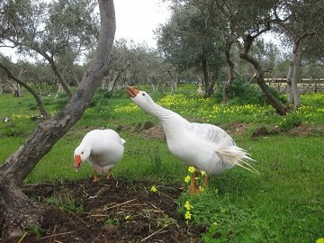 Lefkogia Farm ducks